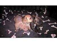 Staffordshire bullterrier puppies for sale