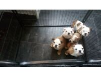 Ready now!! Beautiful chunky English bulldog puppies