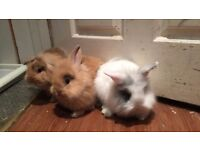 lopped eared cross lion head rabbits for sale