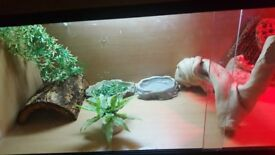 2 bearded dragons and full set up need gone asap have no time for them any more need a loving home