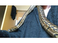 female african rock python 5 years old
