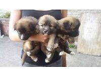 Alaskan Malamute Cross Siberian Husky puppies