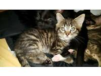 Male tabby kitten relisted due to time waster