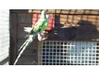 Princess of Wales parakeets