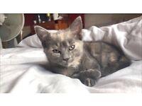 Blue tort kitten