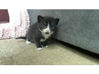 3 gorgeous black & white kittens looking for their new forever home