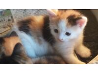 GORGEOUS KITTEN LIKE PANDA FOR SALE