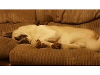 Lovely child and animal friendly Akita pup for sale.