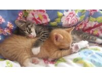 4 Ginger Kittens and Two Tabby's. Lovely Polydactyl Kittens Ready End of This Week E3 area