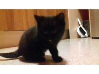 Cute male kitten for sale