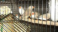 Zebra Finches for Sale ...