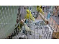 Budgies for sale