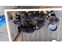 Rottweiller puppies