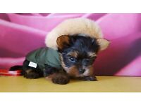 ***Beautiful Yorkshire Terrier Puppies***
