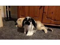 Pet Rabbits For Sale 5 months old