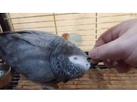 African Grey Parrot, Tame, Talkative, with 2 cages, toys, etc.