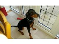 Doberman 6 month old bitch