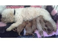 Cavapoo puppies from fully health tested parents