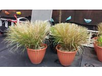 ornamental grasses. Garden plants flowers shruds ornaments furniture table chairs hot tub
