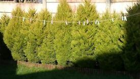 Tree thuja