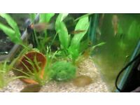 Young yellow sunset guppies for sale.