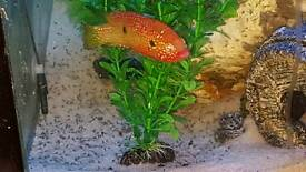 Red jewels fry
