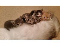 Beautiful Pedigree Ragdoll x Kittens for Sale