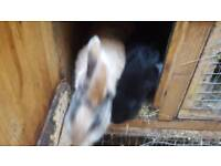 Pet rabbits with hutch