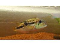 Large acara cichlid. Tropical fish. Live fish.