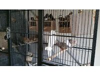 ZEBRA FINCHES AND BENGALESE FINCHES FOR SALE