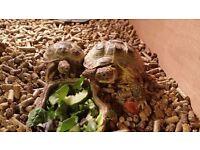 2 Horsefield tortoises for sale