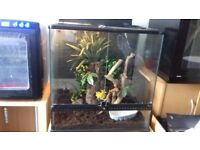 Tokat gecko with setup everything you need!!