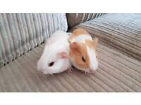2 x female baby guinea pigs