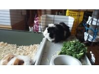 3 Cute long haired guinea pigs for sale- long haired all different colours