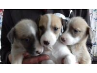Lurcher pups for sale. Bearded collie greyhound X whippet