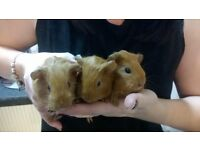 baby male guinea pigs ginger soft fur x3 guinea pigs