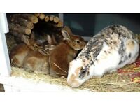 Baby rex rabbits ready to be reserved