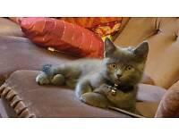 Amazing male BSH kitten