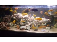 African cichlids and more (read add)