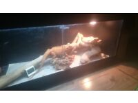 Lovely Female Bearded Dragon with All Equipment