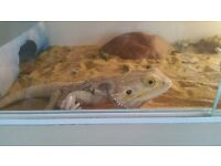 2 bearded dragons for sale + setup