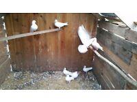 9 Garden Doves For sale