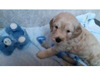 Adorable Cockapoo Puppy's