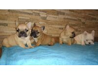 Five french bulldogs for sale
