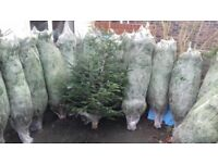 Christmas trees Norman spruce! £30 bargain!