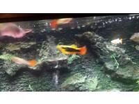 Pair of Platies tropical fish