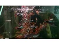 Community guppy fish