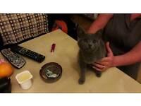 British shorthaired kitten