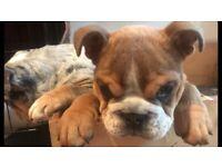 Stunning male bulldog puppy