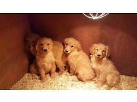 Chunkie golden/red retriever puppies